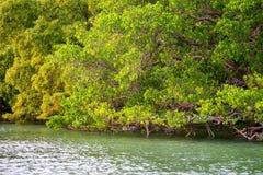 Linea costiera con gli arbusti della mangrovia Immagini Stock