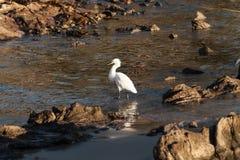 Linea costiera rocciosa dell'egretta di Snowy Fotografia Stock Libera da Diritti