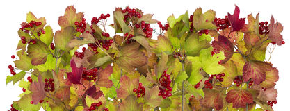 Linea dai rami e dalle bacche di autunno Immagine Stock
