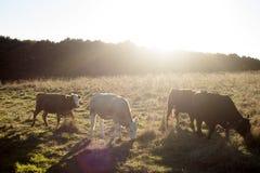 Linea della mucca Fotografie Stock