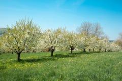 Linea di Cherry Trees Blooming in primavera fotografia stock