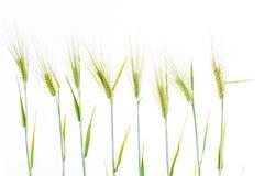 Linea di grano verde della segale Fotografia Stock Libera da Diritti