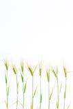 Linea di grano verde della segale Immagini Stock