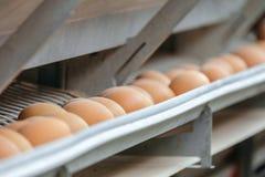 Linea di produzione del trasportatore delle uova del pollo di un'azienda avicola Immagini Stock Libere da Diritti