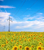 Linea elettrica ad alta tensione alberi nel campo dei girasoli Fotografie Stock