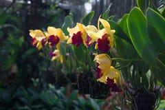 Linea horizontal de las orquídeas amarillas y rojas imágenes de archivo libres de regalías