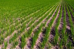 Linea retta recentemente piantata colpo grandangolare del riso Giacimento del riso immagine stock