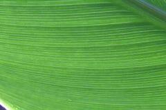 Linea struttura di grande foglia in foresta pluviale Fotografia Stock