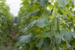 Linea verde fresca del raccolto del cetriolo fotografie stock libere da diritti