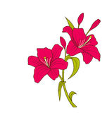 Linear Colored Sketch of Beautiful Lily Flowers  on White Background Royalty Free Stock Images
