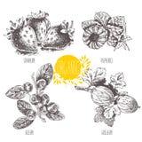Linear graphic. Set of strawberry, raspberry, blueberry, bilberry, whortleberry, huckleberry, hurtleberry, gooseberry Stock Photo
