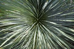 Yucca rostrata. Linear leavese and sharp leavese/Yucca rostrata Stock Images