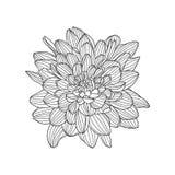 Linear vector hand drawn chrysanthemum flower Royalty Free Stock Images