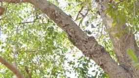 Lineata de Megalaima do pássaro do Barbet de Lineated nos ninhos na árvore alta na floresta tropical tropical video estoque