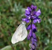 Lineata de Siona de papillon Photos stock