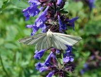 Lineata de Siona de papillon Photographie stock