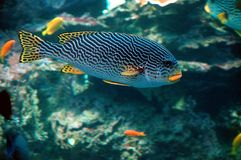 Lineata Plectorhinchus в крытом аквариуме Стоковое Фото