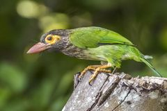The Lineated Barbet. In Udawalawe National Park, Sri Lanka Stock Images
