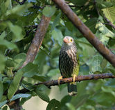 Lineated Barbet (Megalaima Lineata) Images stock