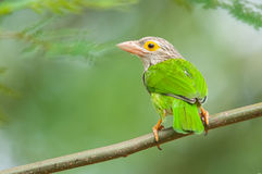 Lineated Barbet. Taken from Bidadari Park of Singapore Royalty Free Stock Photography