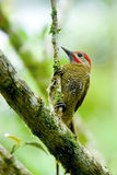 Lineated Woodpecker. (dryocopus lineatus) shot in Costa Rica Royalty Free Stock Photo