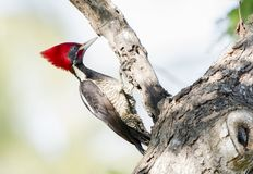 Lineated Woodpecker Dryocopus lineatus with Bright Red Head Cr. Est Working on a Tree in Mexico Stock Images