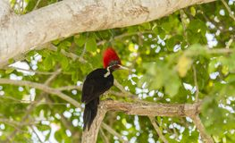 Lineated Woodpecker Dryocopus lineatus with Bright Red Head Crest. Working on a Tree in Mexico Royalty Free Stock Photography