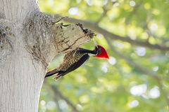Lineated Woodpecker Dryocopus lineatus with Bright Red Head Crest. Working on a Tree in Mexico Royalty Free Stock Photos