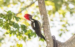 Lineated Woodpecker Dryocopus lineatus with Bright Red Head Crest. Working on a Tree in Mexico Stock Photography