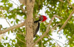 Lineated Woodpecker Dryocopus lineatus with Bright Red Head Crest. Working on a Tree in Mexico Royalty Free Stock Photo