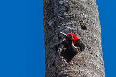 Lineated Woodpecker Royalty Free Stock Photos