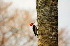 A Lineated Woodpecker on the trunk of a tree Royalty Free Stock Photography