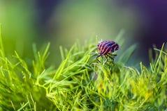 Lineatum d'insecte ou de Graphosoma de troubadour Images stock