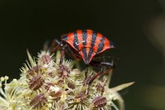 Lineatum de Graphosoma Photo libre de droits