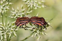 Lineatum Graphosoma, итальянская Striped-Черепашка, черепашка менестреля Стоковые Фото