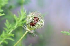 Lineatum Graphosoma Стоковые Фото