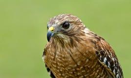 红被担负的鹰(鵟鸟lineatus) 免版税库存图片
