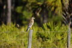 Lineatus de Buteo, faucon rouge-épaulé Image libre de droits