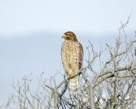 Lineatus del Buteo, falco messo rosso Fotografia Stock