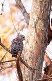 Lineatus messo rosso di Hawk Buteo Fotografia Stock Libera da Diritti