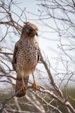 Lineatus messo rosso di Hawk Buteo Immagini Stock Libere da Diritti