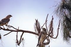 Lineatus messo rosso di Hawk Buteo Fotografie Stock Libere da Diritti