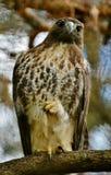 lineatus Rosso-messo di Hawk Buteo Fotografia Stock