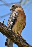lineatus Rosso-messo di Hawk Buteo Fotografia Stock Libera da Diritti