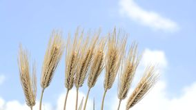 Lined barley stock video footage