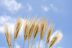 Lined barley Stock Photography
