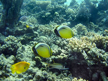 Lined buterfly fish. At coral reef Stock Photos