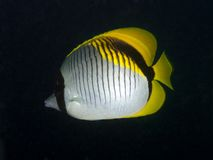 Lined Butterflyfish - Chaetodon lineolatus Stock Photo