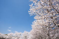 Lined cherry blossoms Royalty Free Stock Photography