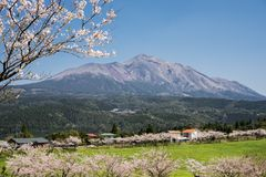 Mountain and flowers. Lined cherry blossoms and green forest in front of mount Takachihonomine under sky Stock Image
